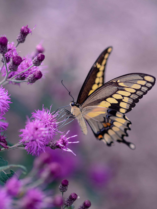 Beautiful butterfly photography of a swallowtail on a pink flower