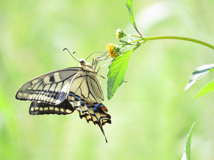 Beautiful butterfly photography of a swallowtail on a leaf