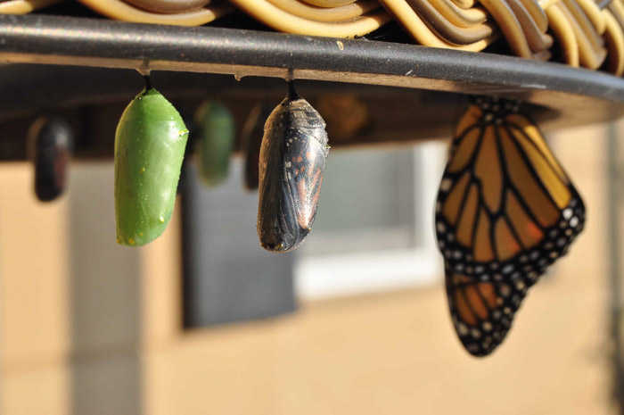 A monarch butterfly resting beside pupae - take pictures of butterflies