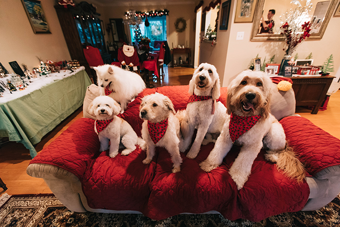 A cute pet portrait of five dogs indoors with christmas decorations and costume