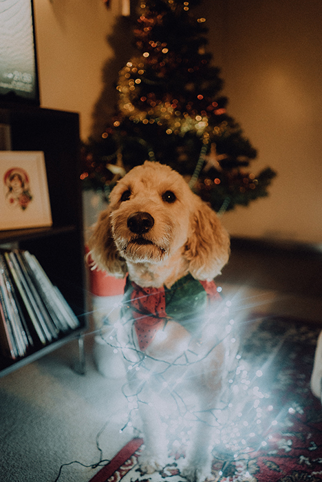 A cute pet portrait of a small dog indoors with christmas lights wrapped around him