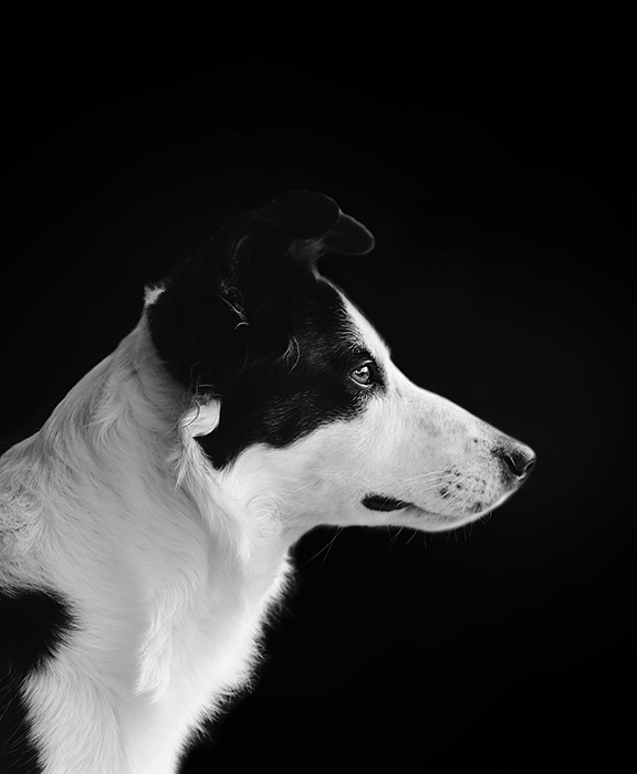 Black and white photo of a dog from the side, with a black background