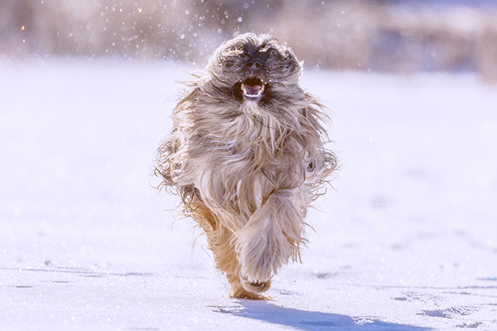 A dog photography action shot of a fluffy dog running through snow taken with continuous shooting mode