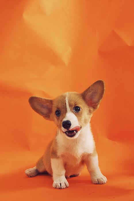 A cute puppy portrait on orange background