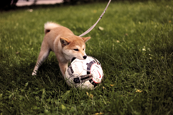 A tiny Shiba Inu puppy playing outdoors with a football