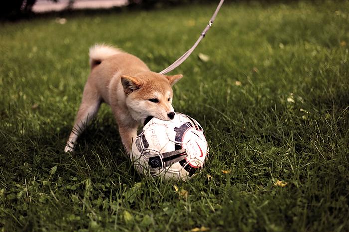 Um pequeno cachorro Shiba Inu brincando ao ar livre com uma bola de futebol