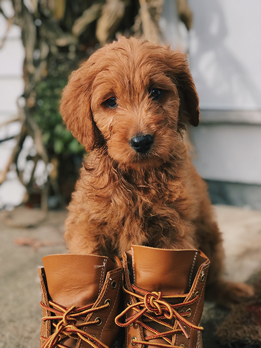 A cute pet photo of a brown puppy wearing brown boots - dog photography tips