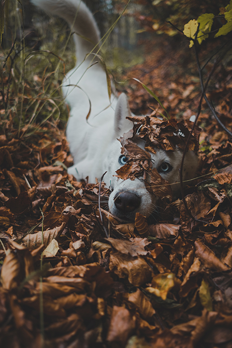 A cute pet portrait of a dog buried on autumn leaves