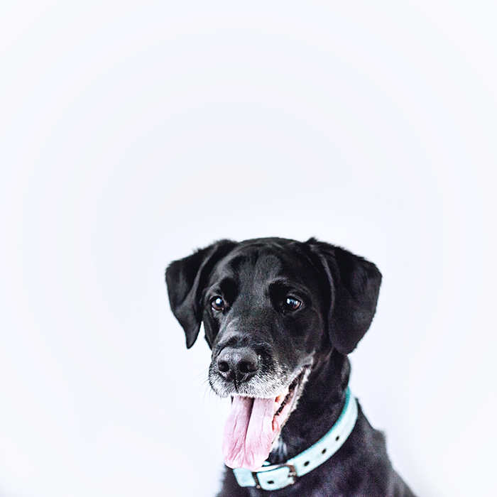 Photo of a happy-looking black dog with its mouth open and tongue out in front of a white background