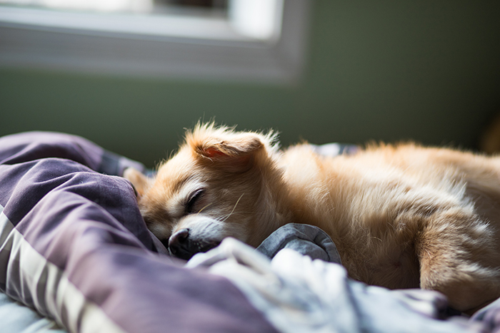 Cute pet portrait of a brown puppy sleeping