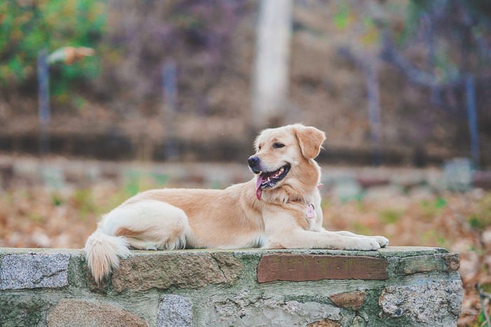 A cute pet portrait of a golden retriever sitting on a wall