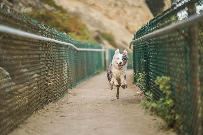 An action shot of a dog running using phase Detection Autofocus
