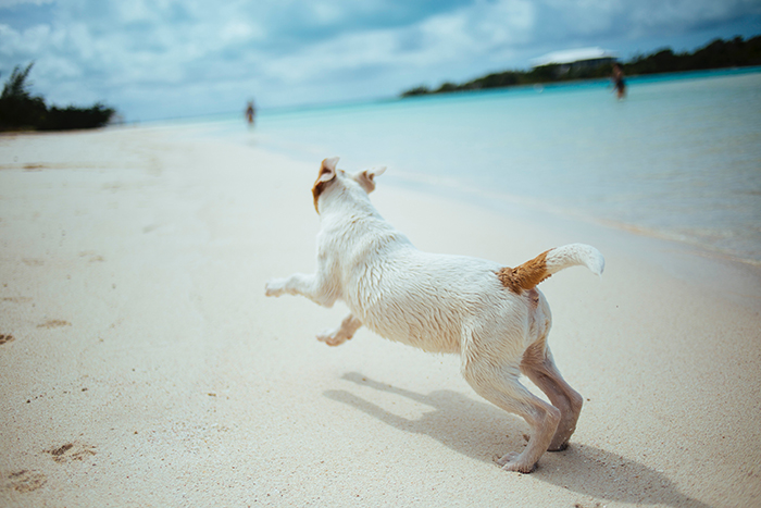 a small dog running on a beach