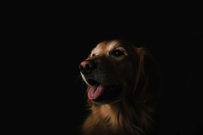 A portrait of a brown dog against a black background shot with a prime lens