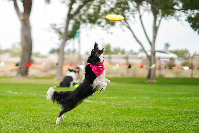 A pet portrait of a dog jumping to catch a frisbee