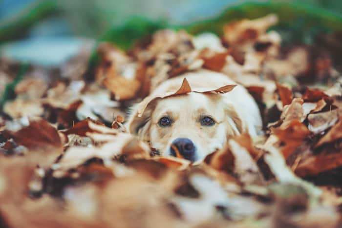 A cute pet portrait of a dog covered in autumn leaves