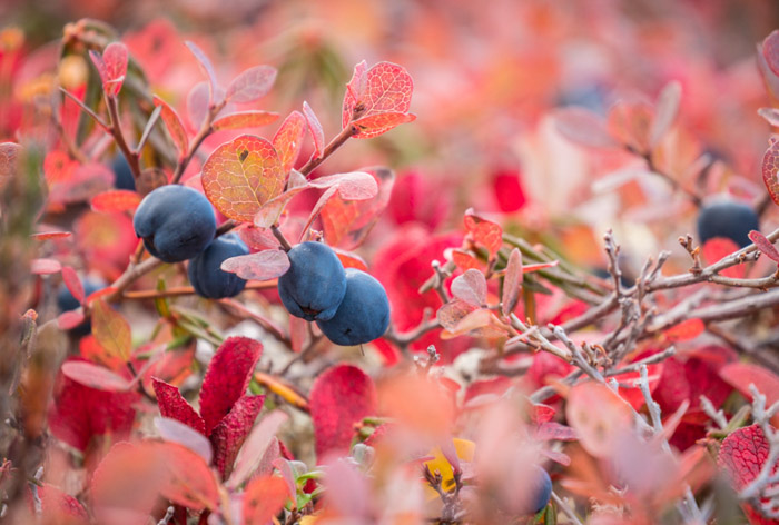 A lucious macro shot of pink autumn leaves with blue berries