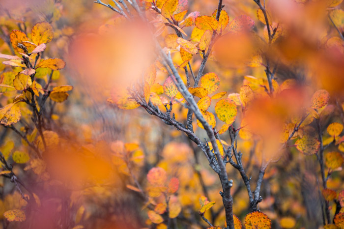 Macro Fall photography of orange and read leaves in Kongakut Alaska