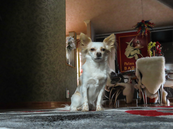 A cute pet portrait of a small brown and white dog take taken with canon powershot sx740 hs