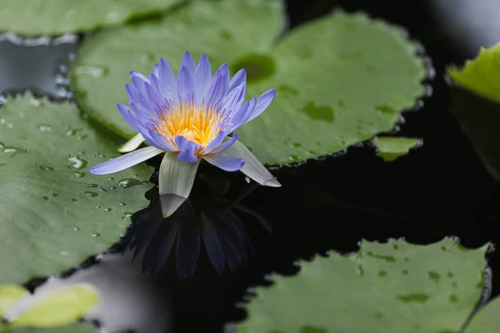 Fotografía en color de un lirio de agua en un estanque