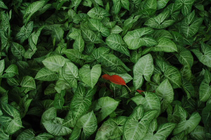 A close up of green leaves with one red leaf among them