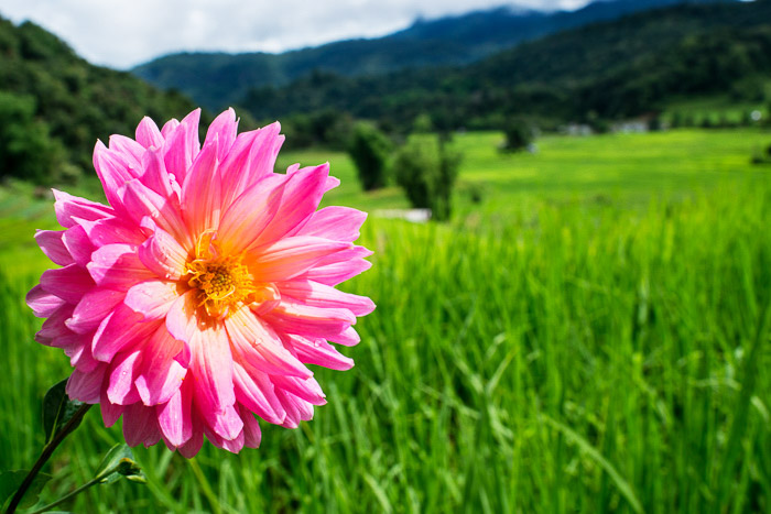 A pink dahlia flower with a rolling green landscape in the background