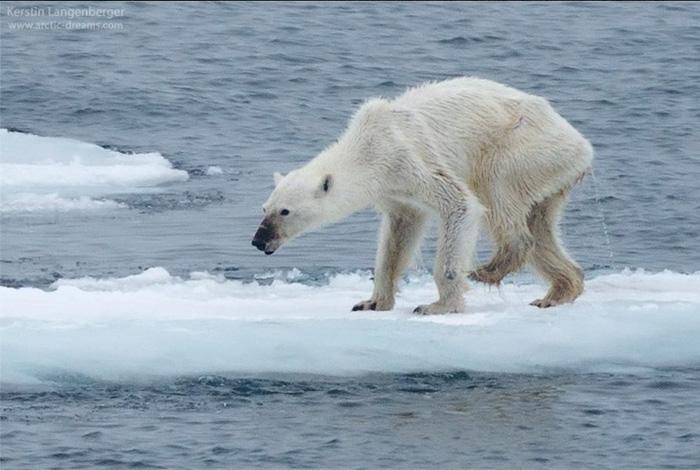 Urso polar morrendo - Kerstin Langenberger (2015)