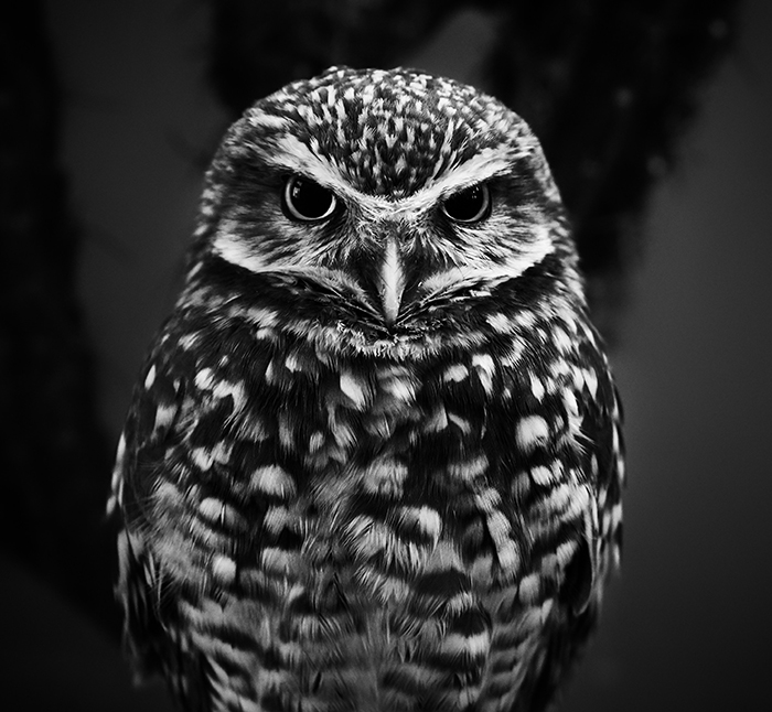 A monochrome portrait of an owl