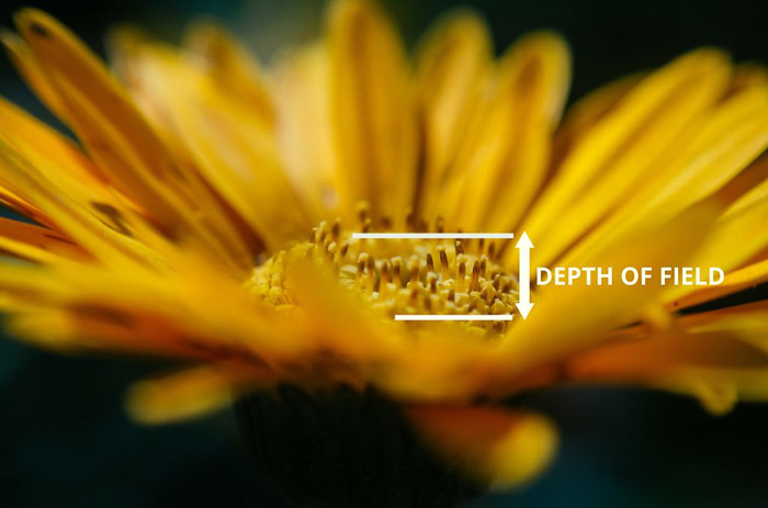A yellow flower with arrows pointing out depth of field for macro photography
