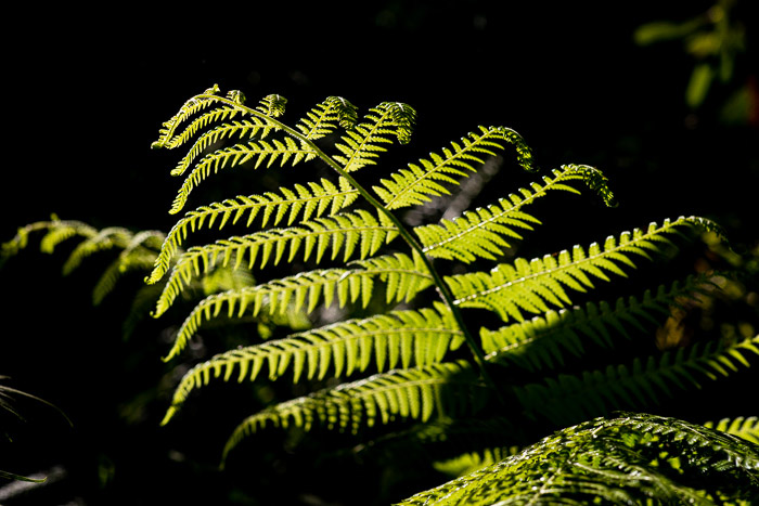 A fern leaf shot with backlighting photography