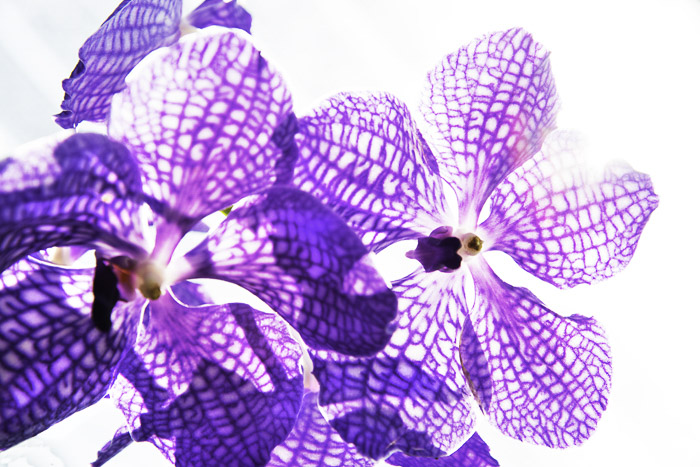 A backlit photo of purple orchids