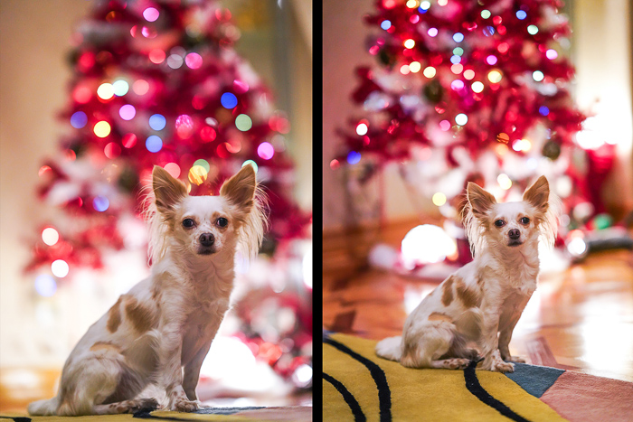 Cute pet portrait of a small whit and brown dog sitting in front of a pink Christmas tree - photography laws