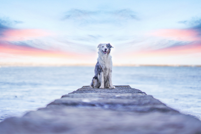 A sweet pet portrait of a brown and white dog sitting on a wooden pier at evening - photography laws