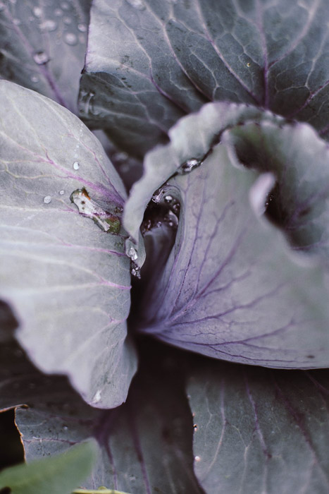 A close up of purple cabbage - food photography examples