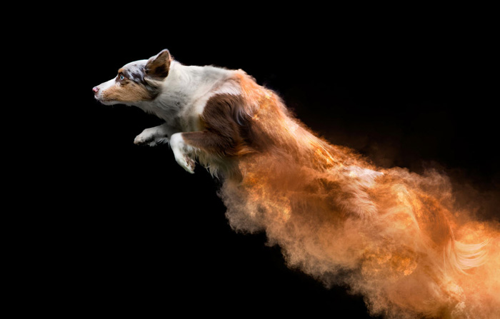 A creative dog portrait by Jess Bell Photography. Here, colored power is added to the pet photography, showing the movement of the dogs.