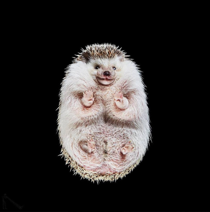 Amazing animal photography shot of a hedgehog on black background by Underlook