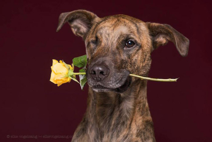 Charismatic pet portrait of a brown dog holding a yellow rose in his mouth by Elke Vogelsang - pet photography ideas