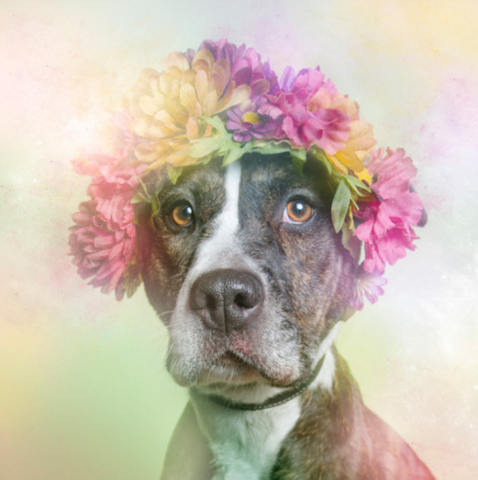 A dreamy pet portrait of a pit bulls dressed in floral designs by Sophie Gamand