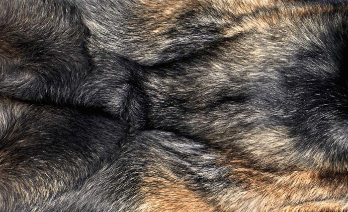 A close up photo of dogs fur by Shaina Fishman Photography