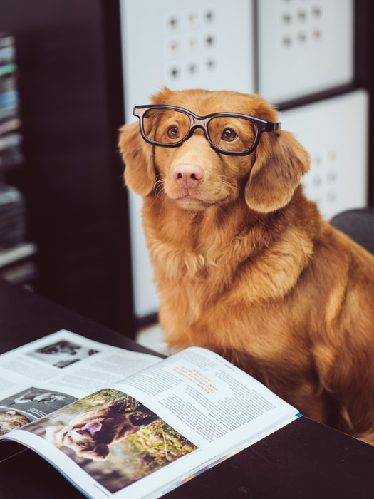 A cute portrait of a brown dog wearing glasses and sitting at an office desk by Jamie Street - great pet photography tips