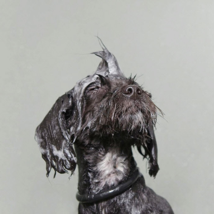 A cute grey dog with wet hair against a grey background by Sophie Gamand
