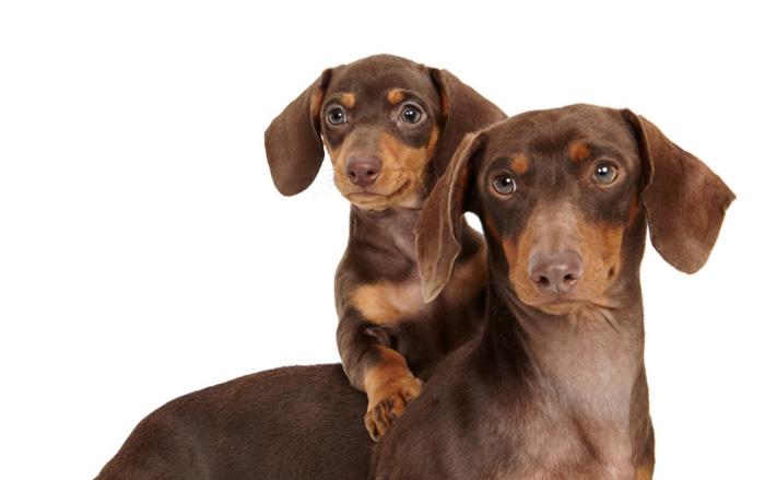 Retrato adorável do animal de estimação de um cachorro marrom com um cachorrinho nas costas por Shaina Fishman Photography.
