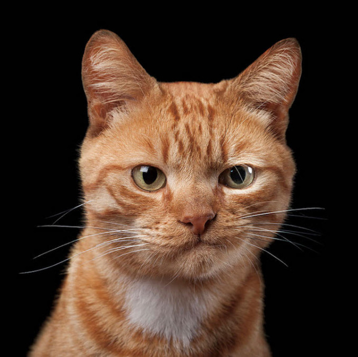 Funny cat photography portrait of a ginger cat against black background - pet photography ideas
