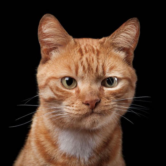 Retrato engraçado da fotografia de um gato ruivo em fundo preto
