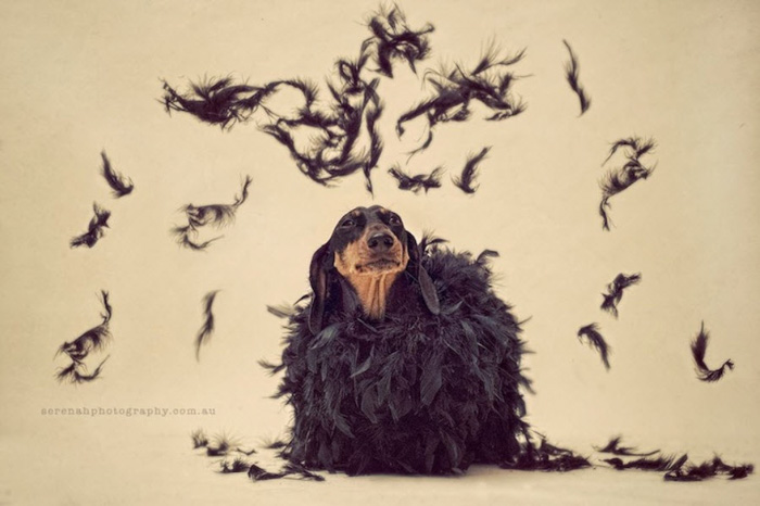 Creative dog photography portrait of a small dog covered in black feathers - Serenah Wright.