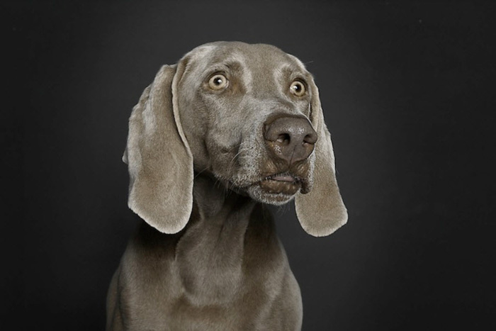 Beautiful pet portrait of a grey dog against a grey background by Ralph Hargarten - dog photography ideas