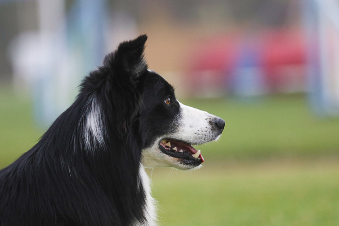 Pet portrait of a border collie dog outdoors, shot with the Sigma 70-200mm f/2.8 DG OS HSM