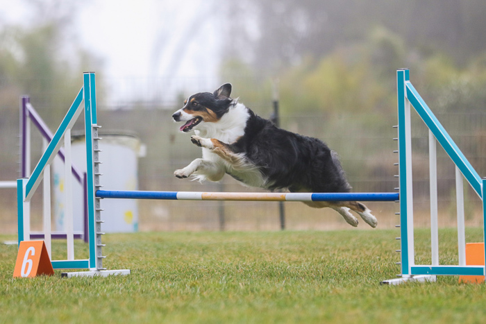 Action shot of a dog jumping over an agility jump, shot with the Sigma 70-200mm f/2.8 DG OS HSM