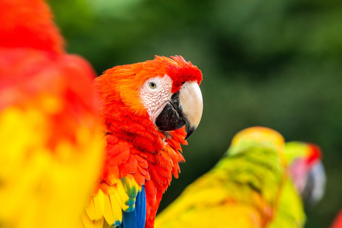 A brightly colored portrait of macaw parrots - color saturation