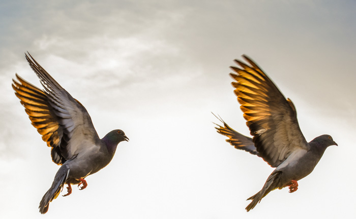 A close up of two pigeons mid flight, shot using a fast shutter speed